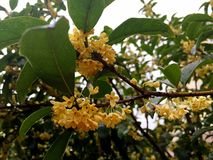 Osmanthus blossoms Stock Photography