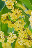 Osmanthus d'or Photographie stock