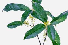 Osmanthus de la Chine Photo stock