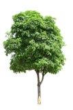osmanthus drzewo Obraz Stock