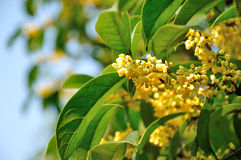 Osmanthus Royalty Free Stock Photo