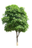 Osmanthus tree Stock Image