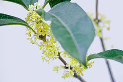 Osmanthus Royalty Free Stock Images