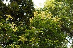 Osmanthusfragrans Thunb lour arkivfoton