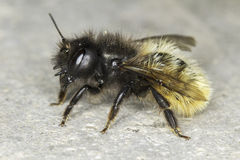 Osmia cornuta / solitaire bee close-up Stock Photography