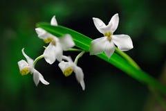 Osmoglossum pulchellum, Meksyk, Costa Rica, dziki biały zwrotnik storczykowy kwiat, natury siedlisko Piękny storczykowy kwiat, za Obrazy Royalty Free