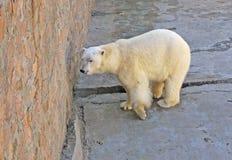 Oso ártico Foto de archivo libre de regalías