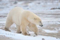 Oso ártico, polar Imágenes de archivo libres de regalías