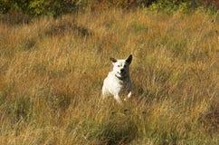 oso τρέξιμο Στοκ φωτογραφία με δικαίωμα ελεύθερης χρήσης