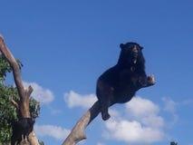 oso anteojos fotografia stock