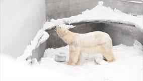 Oso blanco en parque zoológico adelante almacen de metraje de vídeo