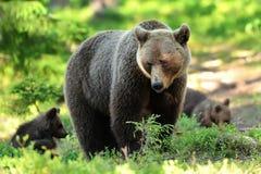 Oso con los cachorros en oso de la madre del bosque con los cachorros Oso de la mamá con los cachorros Fotografía de archivo