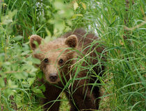 Oso Cub de Brown que recorre a través de la hierba Foto de archivo libre de regalías