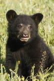 Oso Cub negro Imagenes de archivo