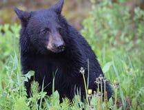 Oso Cub negro adorable que presenta para la cámara Foto de archivo