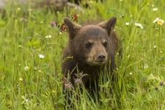 Oso Cub negro y Wildflowers Foto de archivo