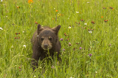 Oso Cub negro y Wildflowers Foto de archivo libre de regalías