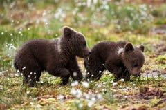 Oso Cubs de Brown Fotos de archivo