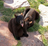 Oso Cubs negro en el país del oso fotografía de archivo