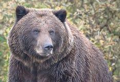 Oso de Alaska Brown fotografía de archivo libre de regalías