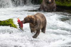 Oso de Alaska Brown con los salmones imagenes de archivo