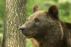 Oso de Brown/arctos del Ursus fotos de archivo
