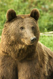 Oso de Brown/arctos del Ursus foto de archivo