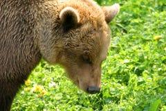 Oso de Brown (arctos del Ursus) Fotos de archivo libres de regalías