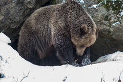 Oso de Brown (arctos del Ursus) Fotografía de archivo libre de regalías
