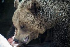 Oso de Brown (arctos del Ursus) Imagen de archivo libre de regalías