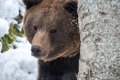 Oso de Brown (arctos del Ursus) Imagen de archivo