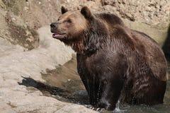 Oso de Brown (arctos del Ursus) Foto de archivo
