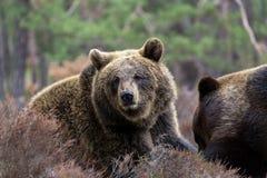 Oso de Brown (arctos del Ursus) en bosque del invierno Fotos de archivo