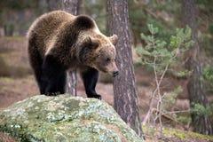 Oso de Brown (arctos del Ursus) en bosque del invierno Foto de archivo libre de regalías