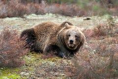Oso de Brown (arctos del Ursus) en bosque del invierno Imagen de archivo libre de regalías