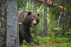 Oso de Brown, arctos del Ursus, en bosque europeo de color verde oscuro Imagenes de archivo