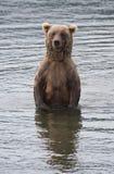 Oso de Brown de Alaska Fotografía de archivo libre de regalías
