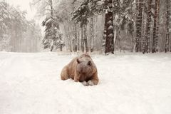 Oso de Brown del europeo en un bosque del invierno Fotos de archivo libres de regalías