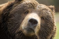 Oso de Brown del Kodiak Foto de archivo libre de regalías