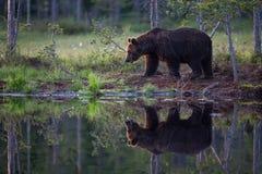 Oso de Brown en bosque finlandés con la reflexión del lago Foto de archivo libre de regalías