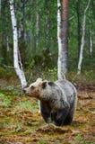 Oso de Brown en el bosque Fotografía de archivo libre de regalías