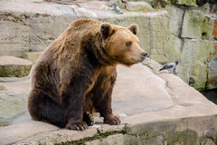 Oso de Brown en el parque zoológico Imágenes de archivo libres de regalías