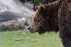 Oso de Brown en la montaña Vancouver del urogallo Imagen de archivo libre de regalías