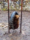 Oso de Brown en parque zoológico Imágenes de archivo libres de regalías
