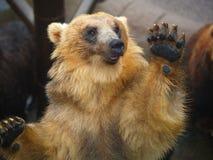 Oso de Brown en parque zoológico fotografía de archivo