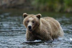Oso de Brown joven que se coloca en el río de los arroyos Imágenes de archivo libres de regalías