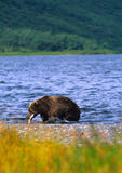 Oso de Brown que coge un salmón en el lago Imagen de archivo libre de regalías