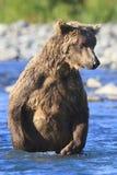 Oso de Brown que se coloca en agua azul en Alaska Fotos de archivo libres de regalías