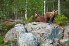 Oso de Brown salvaje, arctos del Ursus, dos cachorros, jugando en la roca, para oso de la madre que espera Imágenes de archivo libres de regalías