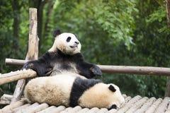 Oso de dos pandas gigantes en el parque zoológico Imagen de archivo